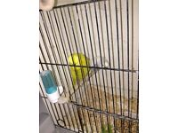 green male budgie