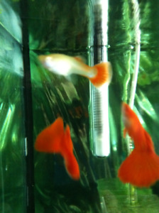 Guppies For Sale | Kijiji in Toronto (GTA)  - Buy, Sell & Save with