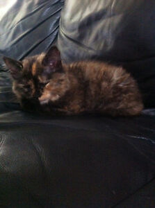 Looking for female calico kitten