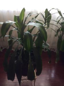 Houseplant, nice and healthy.
