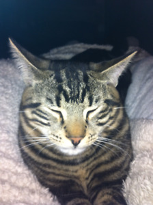 25 Toed Cat Missing From Meadowlark Area