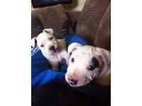 Staffy pups / Staffordshire bull terrier pups / staff pups