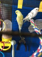 2 budgies with accessories and cage.