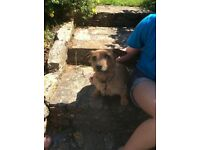 Yorkie/ jack Russell mix - male