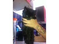 Beautiful fluffy male kitten