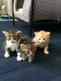 3 lovely kittens looking for forever home (BENGAL MIXTURE)