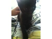 Beautiful black kitten URGENT