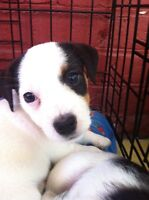 Purebred Jack Russell Puppies