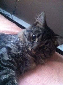 Long-Haired Dark Male Tabby to Good Home