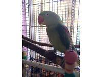Alexandrine Green Parrot & cage