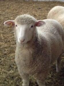 Sheep.  2 ewe lambs for sale.  $250 each.
