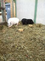 Miniature Micro Pair of Pigs For Sale