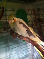 Selling cockatiel for cheap!!