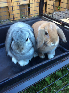 Friendly spayed/neutered Holland Lops
