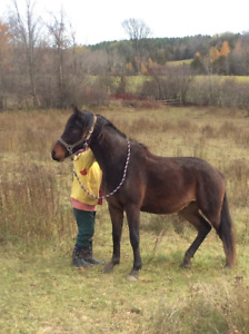 two year old  - 3/4 Cleveland Bay gelding