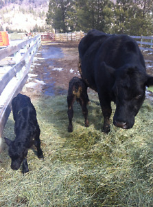 COW/TWINS= HEIFER&BULL