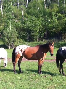 Double registered appaloosa broodmare