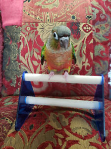 BB conure Joues vertes mutation Yellowside