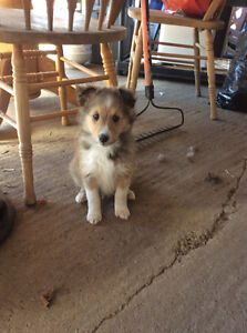 Pure bred Sheltie puppies
