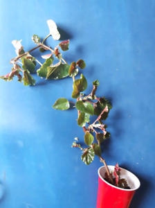 Rooted Begonia cutting