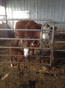 COW/CALF pair for sale