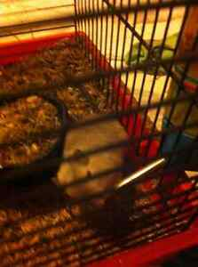 Cute gerbil with cage for FREE to good home - MOVING