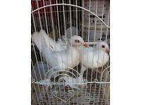 Pure white highflying doves