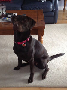 Looking for male Lab to breed with our Chocolate Lab