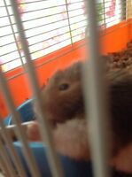 Female syrian hamster for sale