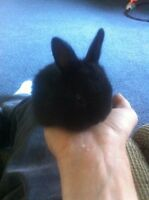 5 little dwarf rabbits fore sale great pets