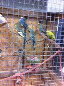 Cute Young Budgies