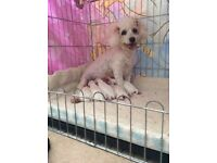 READY 27TH OCTOBER - FULL PEDIGREE BICHON FRISE PUPS /PUPPIES/ PUPPY