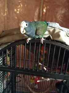 Friendly Pionus Parrot with cage