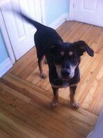 Roxy Femelle Bouvier Bernois X Labrador 5 mois