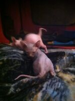 Sphynx babies to reserve