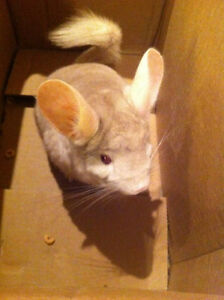 CHEECH the chinchilla needs a good home