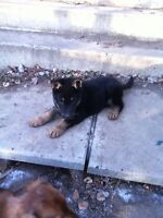 Purebred male German Shepherd Pup
