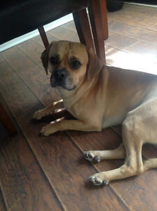 Puggle for a good home