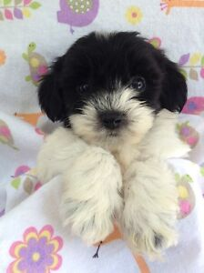 ADORABLE TINY  TOY YORLIE POO  PUPPIES....!!!!