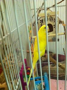 Two budgies with choice of cage