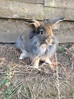 Beautiful Lionhead Bunnies