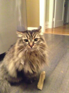 Long Haired Brown Female Tabby Missing London Ontario image 1