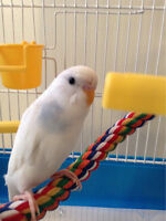 8 month old budgie comes with cage