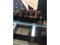 South African mastiff X Rottweiler