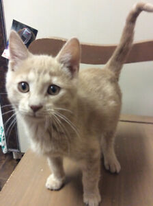 Philos kitten for adoption-neutered,vaccinated,microchipped