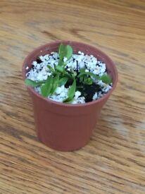 Indoor Plant - Venus Flytrap