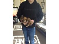 4girl chihuahua x Yorkshire terrier pups