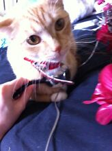 Cats free to good home/ cat sitter needed Kallangur Pine Rivers Area Preview