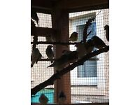 5 zebra finches mostly male