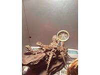 Baby Bearded Dragon and new 3ft set up